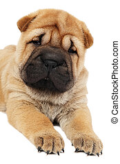 young sharpei puppy dog - Small purebred Chinese sharpei dog...