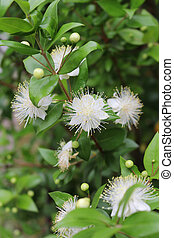 myrtle,myrtus,myrthen,common myrtle