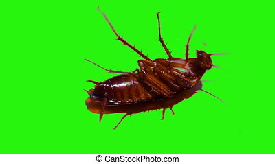 Cockroaches are die on isolated green screen