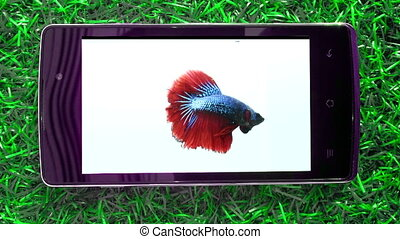 Fighting fish on smart phone - close up Fighting fish on...