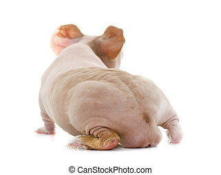 guinée, maigre, cochon