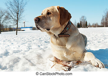 labrador at winter - one labrador retriever lying at snowy...