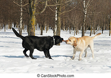 labrador contest at winter - two labrador retriever dog...