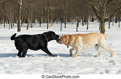 labrador contest at winter