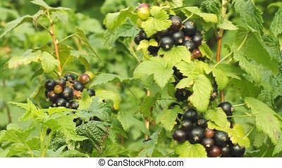 Black currant berries growing in the garden