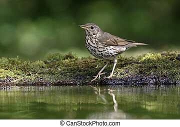 Song thrush, Turdus philomelos, single bird by water,...