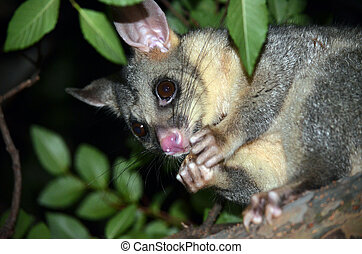 Australian Brushtail possum eating - Australian Brushtail...