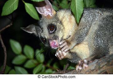 Australian Brushtail possum eating