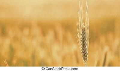 Yellow Wheat Ears Field Blowing In Wind Rich Harvest Wheat...