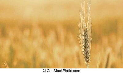 Yellow Wheat Ears Field Blowing In Wind. Rich Harvest Wheat...