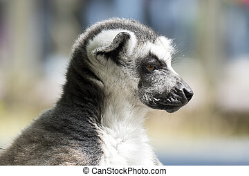 Ring-tailed lemur monkey - Ring-tailed lemur monkey in The...