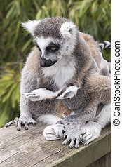 Ring-tailed lemur monkey. - Ring-tailed lemur monkey in The...