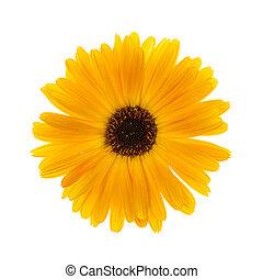Calendula flower - One fresh calendula flower isolated on...