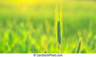 Green Wheat Ears Field Blowing In Wind. Wheat Field, Fresh Crop Of Wheat Ears