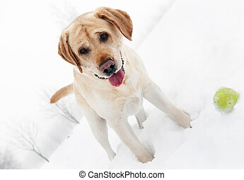playfull retriever dog in winter - golden beige cheerful...