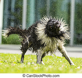 Border Collie shaking himself dry. - Border Collie shaking...