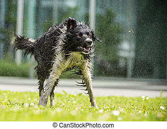 Border Collie shaking himself dry - Border Collie shaking...