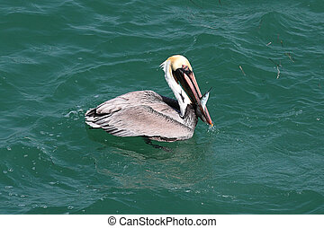 Brown Pelican Fishing In The Gulf - Brown Pelican Pelecanus...