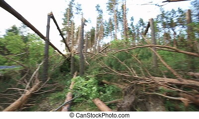 Fallen Trees In Coniferous Forest After Strong Hurricane...