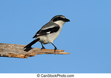 Loggerhead Shrike Lanius ludovicianus hunting for birds from...