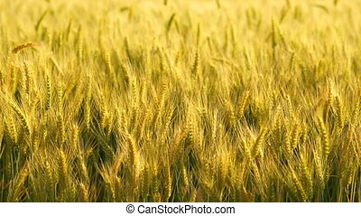 Golden Wheat Farm Crop Agricultural Staple Food Plant - Farm...