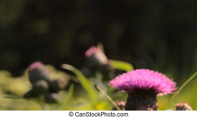 Field flowers. Smooth panning shot with shallow dof - Field...