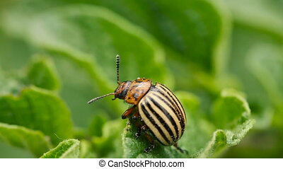 Colorado Striped Beetle - Leptinotarsa Decemlineata Crawling...