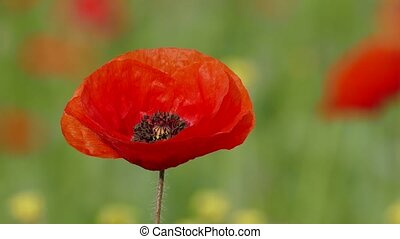 Single Poppy Swaying With Wind - CLOSE UP Focus on a single...
