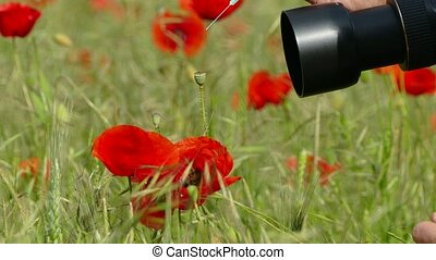 Nature Photographer Taking Pictures Of Poppies