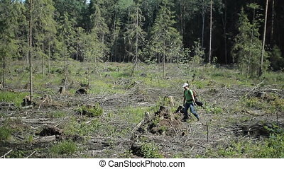 A man with backpack walks on the felled forest. Many withered stumps of old trees