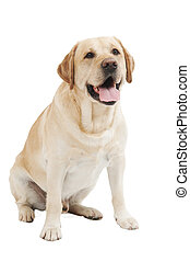 Yellow Retriever Labrador Dog - Retriever Labrador dog of a...