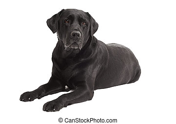 lying Black Retriever Labrador Dog isolated - Retriever...