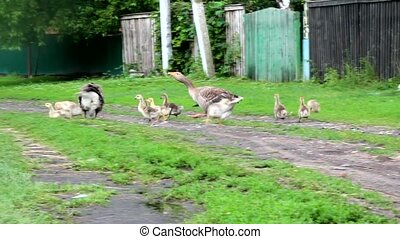 Geese and goslings in the village - Summer poultry yard in...