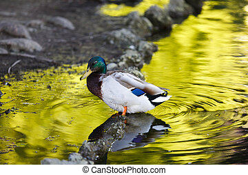 Duck reflected in water