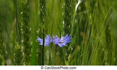 Bright Cornflower In Green Field - CLOSE UP shot of a lonely...