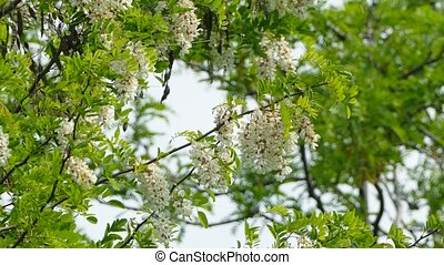 Beautiful White Acacia Tree In Blossom - Branches of...