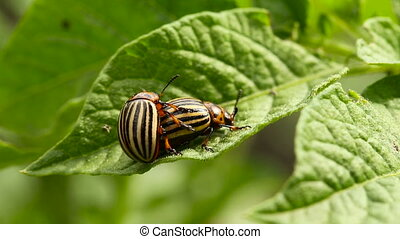 Two Colorado Striped Beetles - Leptinotarsa Decemlineata.