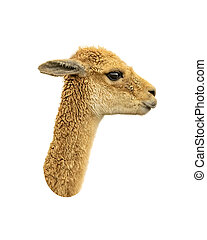Vicuna Face Isolated Over White - Side view vicuna face...
