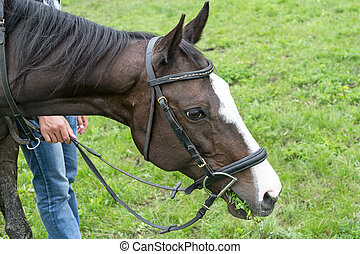 Horse in bridle eating grass in a meadow