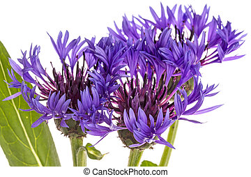 Lilac cornflower - Centaurea is a genus of between 350 and...