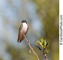 Tree Swallow - Tachycineta bicolor - Tree Swallow, male,...