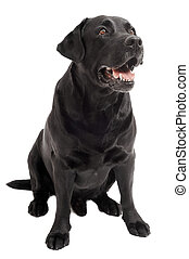 sitting Black Retriever Labrador Dog isolated - Retriever...