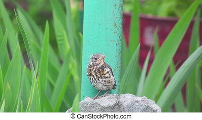 Nestling thrush Fieldfare sitting on a stone - Fieldfare...