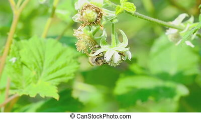 Bee and ant on raspberry flower - A bee pollinating an...