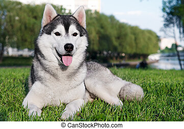 husky dog on green grass - majestic portrait of grey black...