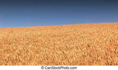 Wheat Field against a blue sky - Golden wheat ready to be...