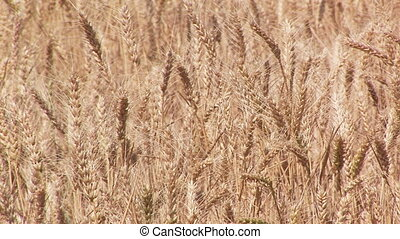Wheat Field - Golden wheat ready to be harvested, Connell,...