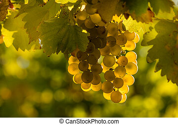 closeup of sunlit Riesling grapes in vineyard