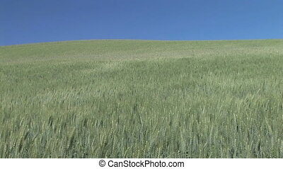Green Wheat Field - Rippling field of green wheat, Palouse,...