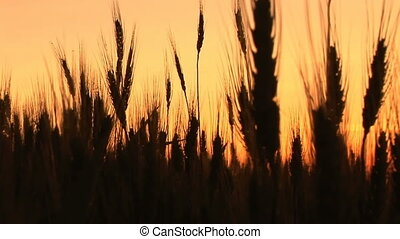 Wheat in silhouette at sunset